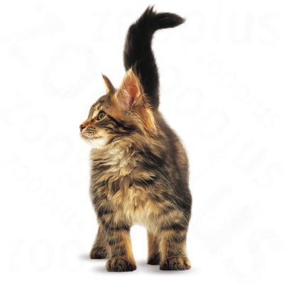 Royal Canin Maine Coon Kitten Kattenvoer